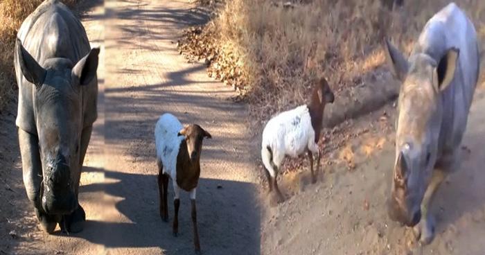 Photo of Video: बकरी और गेंडे की दोस्ती ने जीता लोगो का दिल, इन्हें देख बचपन याद आ जाएगा