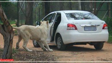 Photo of जंगल में लड़की ने रोकी कार तो शेरनी ने धीरे से खोला दरवाजा और फिर जो हुआ उसे Video में देखें…
