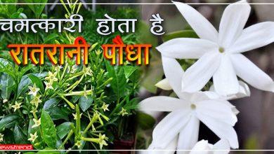 Photo of चमत्कारी होता है रातरानी पौधा, इसे घर में रखने से दूर हो जाता है वास्तु दोष, पढ़ें इसके फायदे