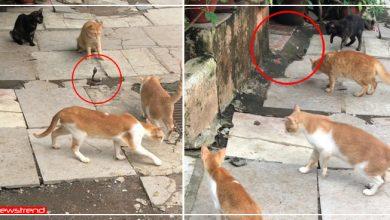 Photo of चार बिल्लियों ने एक साथ घेर लिया सांप को, सांप-नेवले की लड़ाई से ज़्यादा दिलचस्प है यह वीडियो