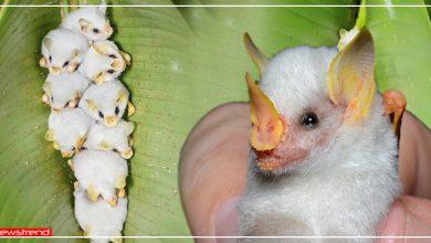 Photo of यह हैं सफ़ेद चमगादड़, 'रुई की बॉल' जैसे दिखते हैं और बड़ा शांत है इनका नेचर, देखें वीडियो
