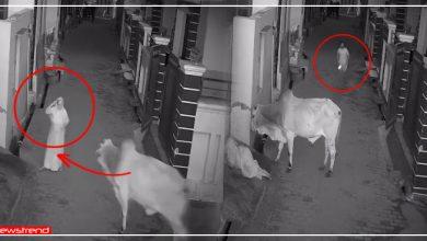 Photo of Video: सांड ने किया दादी पर हमला तो जान बचाने दौड़ा पोता, वीडियो देख शूटर दादी हुई गदगद