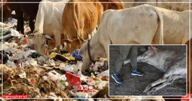 दर्द से तड़प रही थी प्रेग्नेंट गाय, पेट चीरा तो अंदर निकला 71KG प्लास्टिक का कचरा