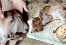 calf born with 2 heads and 3 eyes in odisha
